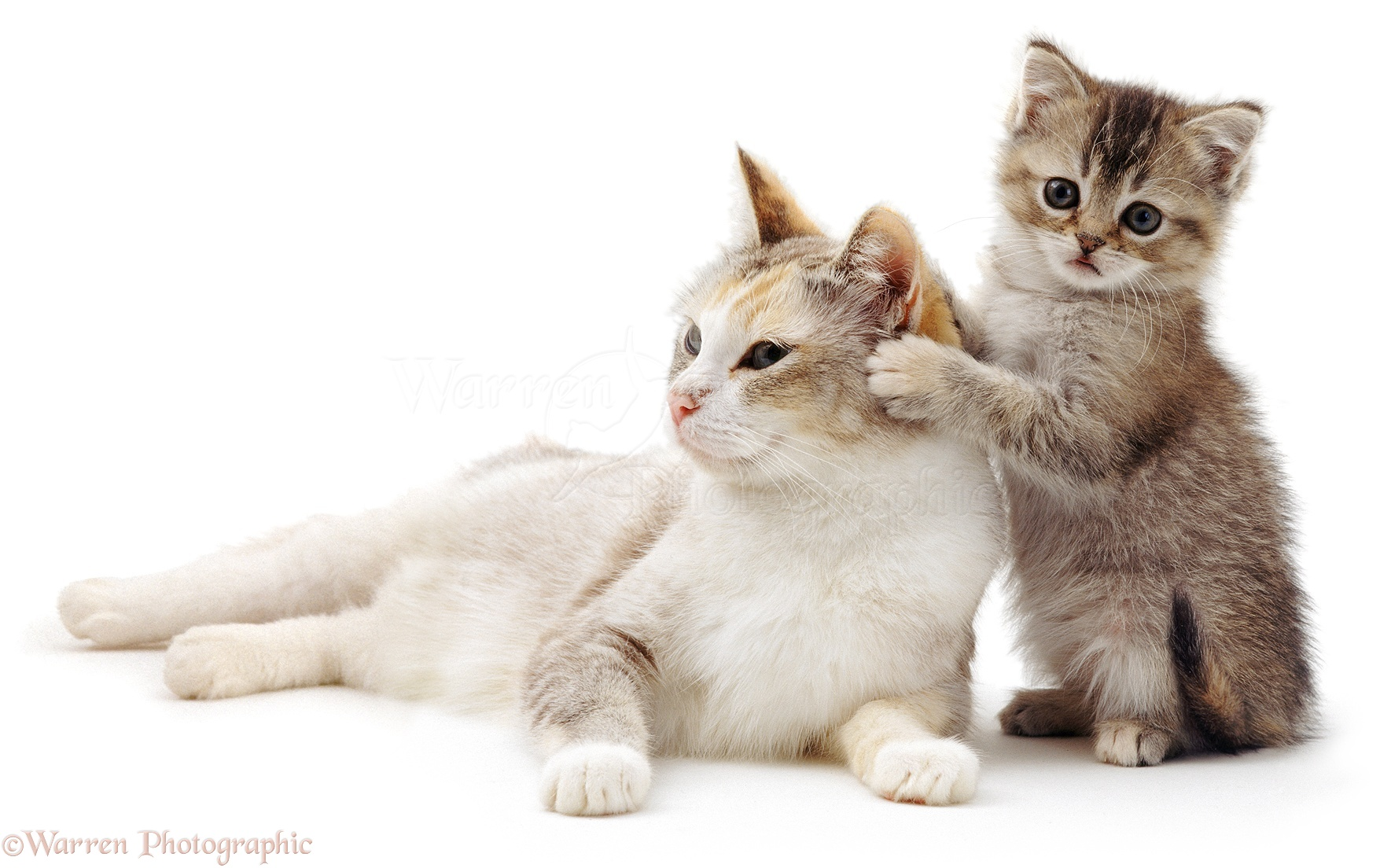 cute animals pictures cute cat and kitten wp04286