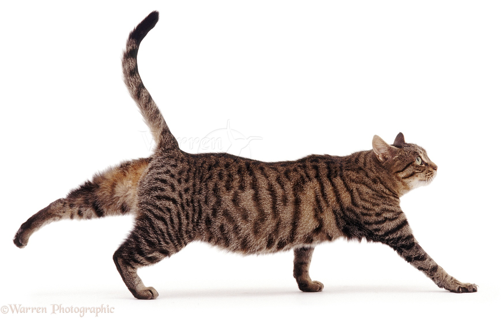 Tabby Cats Picture Gallery