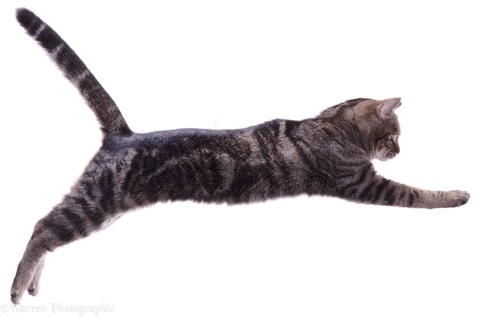 Tabby Cat leaping (series No 2) photo WP04323