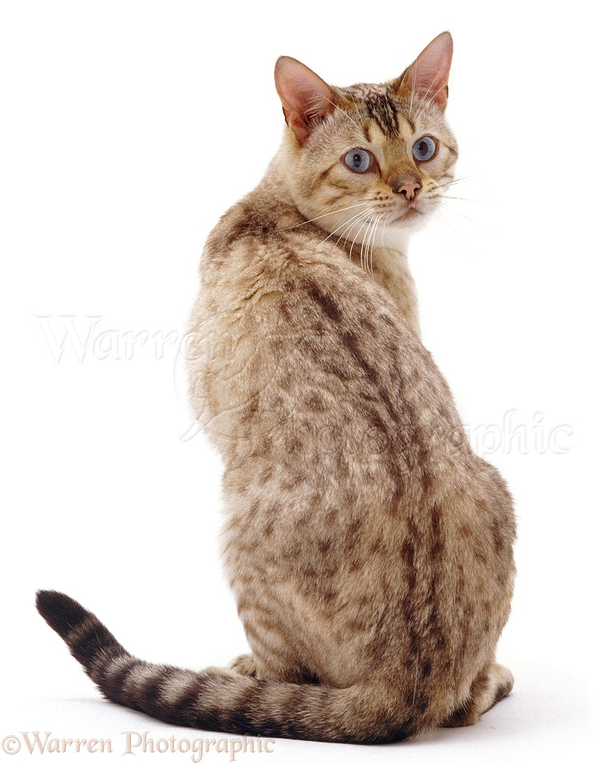 The Small Cat Breeds of the World - cat-breed