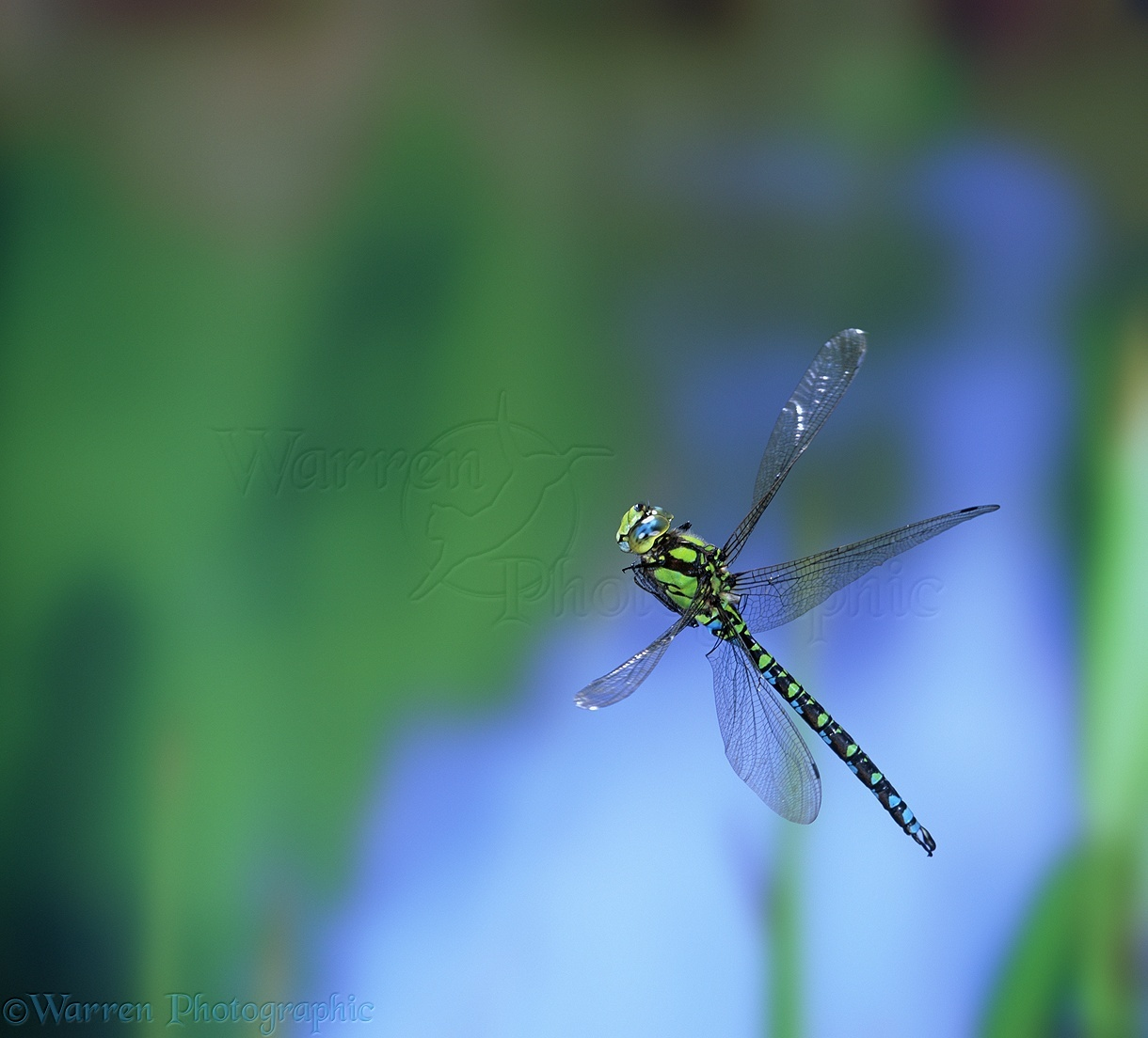Southern Aeshna Dragonfly photo - WP04422 Bee
