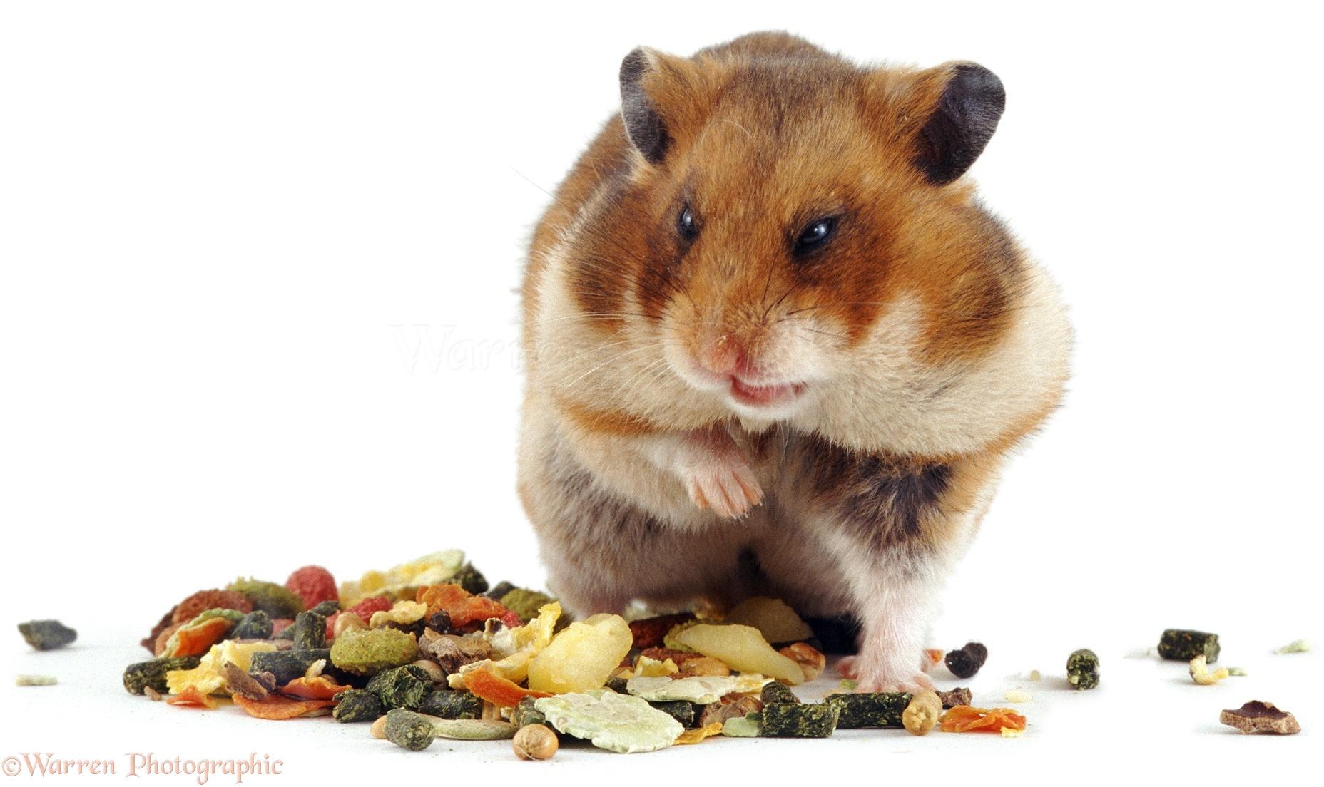 Golden hamster white - photo#8