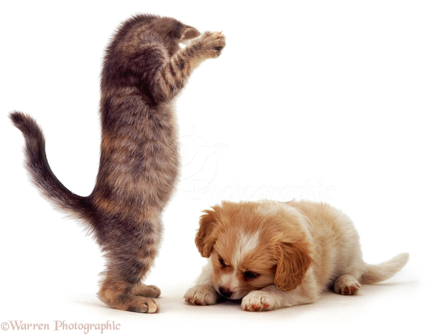 Pets Kitten And Puppy Playing Photo Wp04612