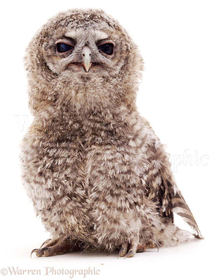 WP04618 Baby Tawny Owl  Strix aluco .