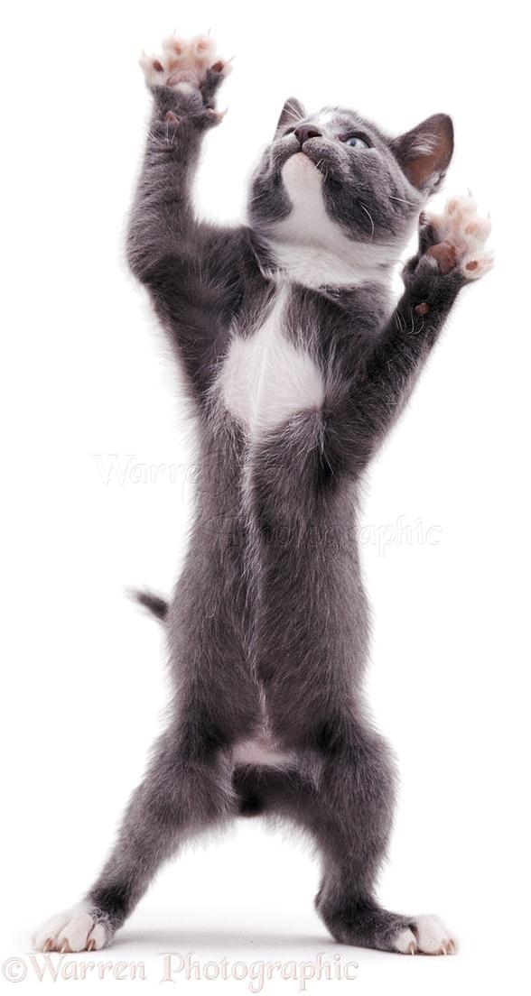 Kitten reaching up photo WP04625