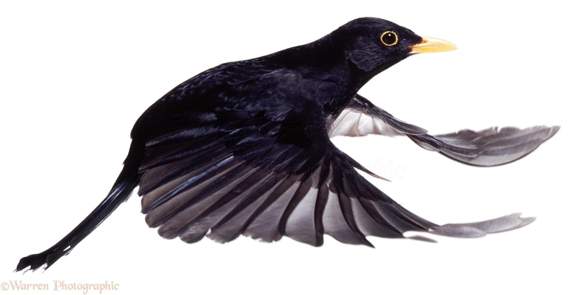 Male Blackbird In Flight Photo Wp04629