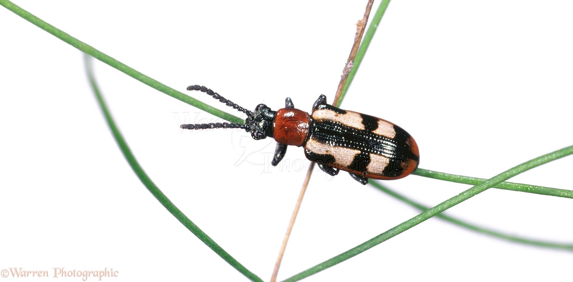 Asparagus Beetle Control: Asparagus Beetle Photo WP04638