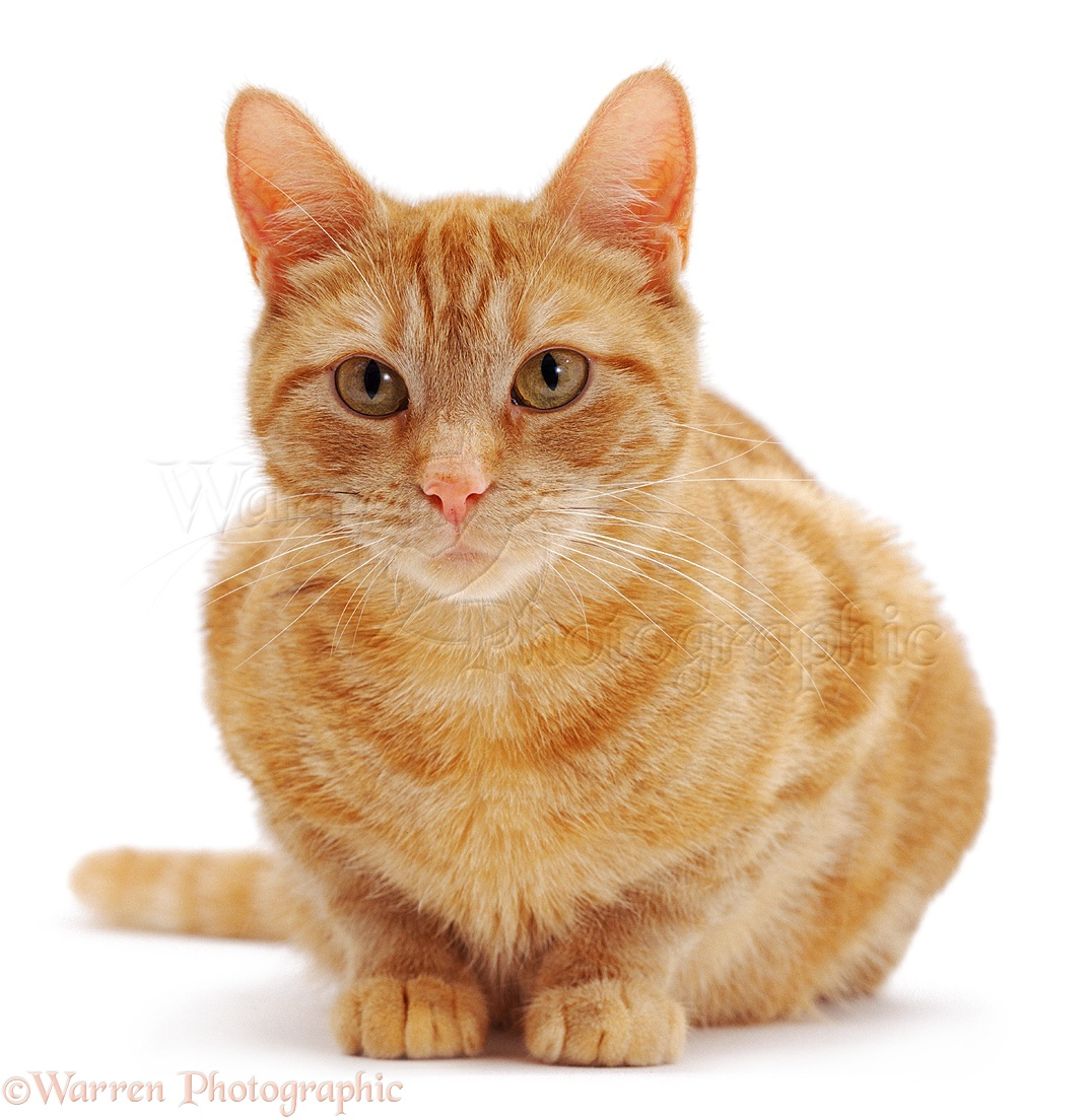 Female Ginger Cats