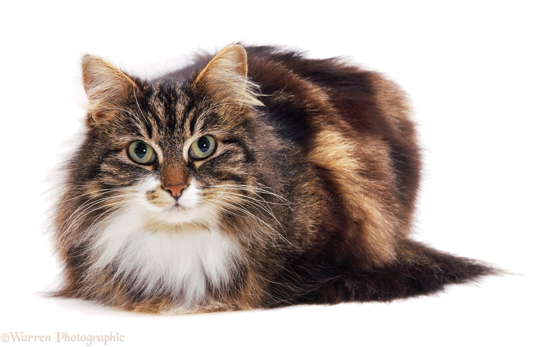 Long Haired Cat On White Background