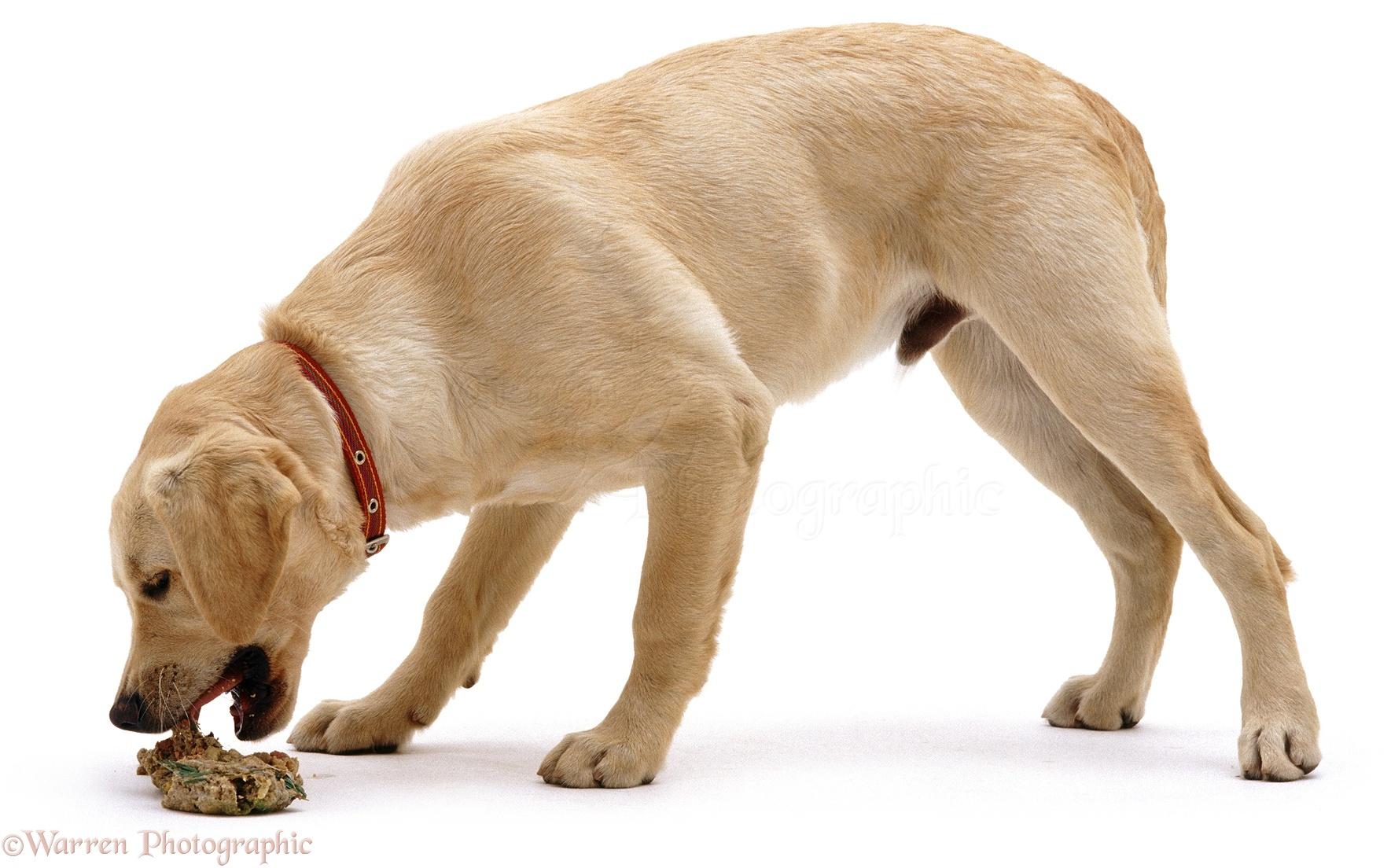 Dog Regurgitating Food