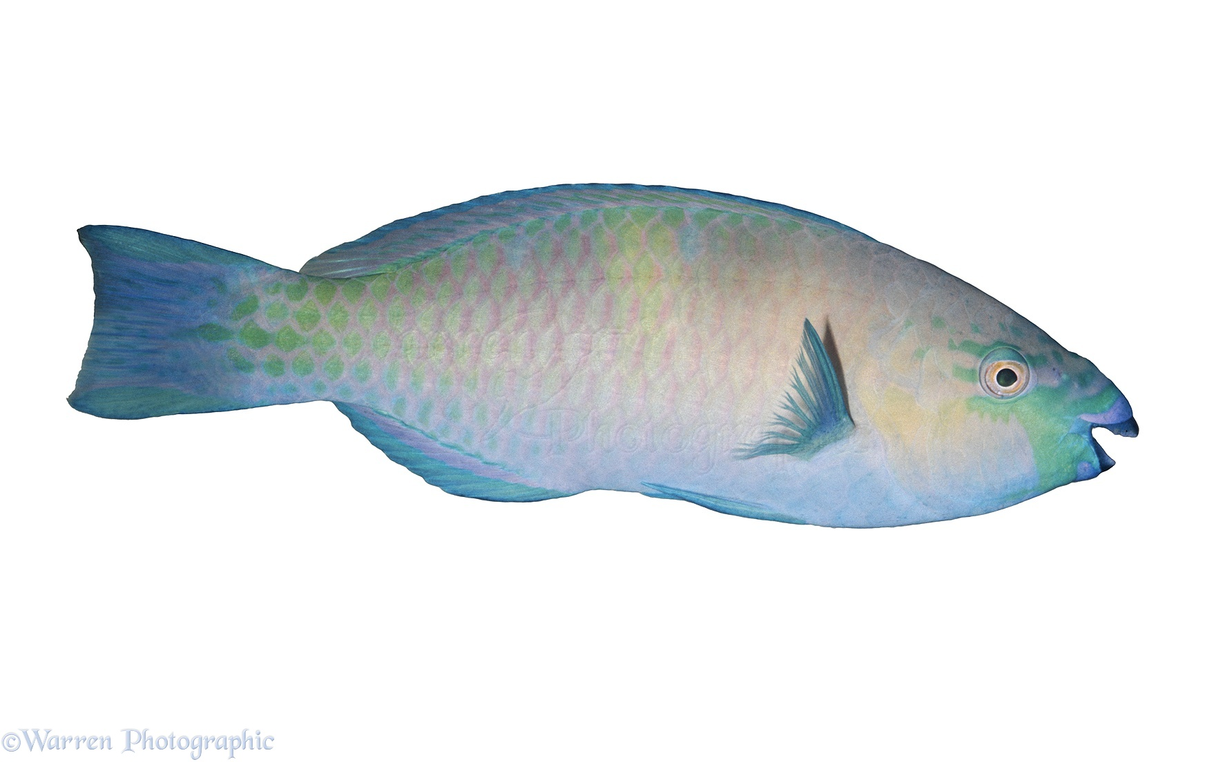 Hawaiian Parrotfish Photo Wp04699