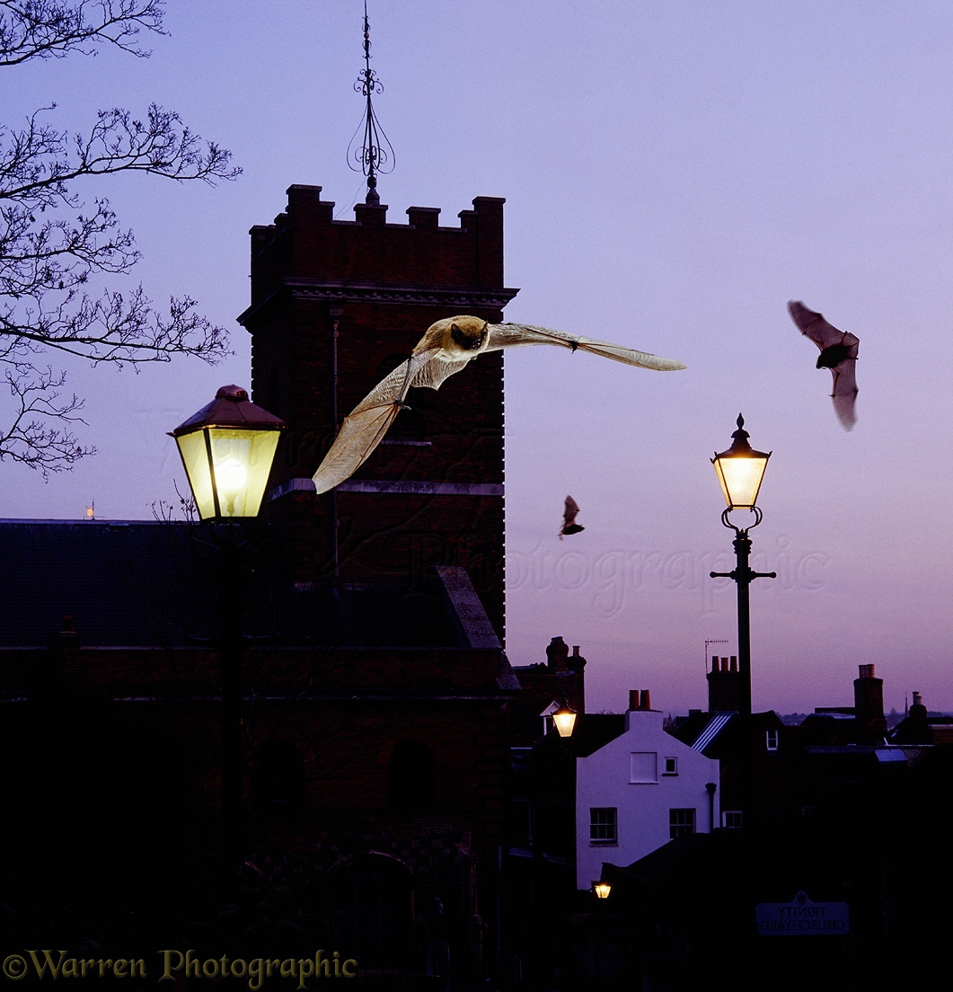 Pipistrelles By Guildford Church Photo WP04704