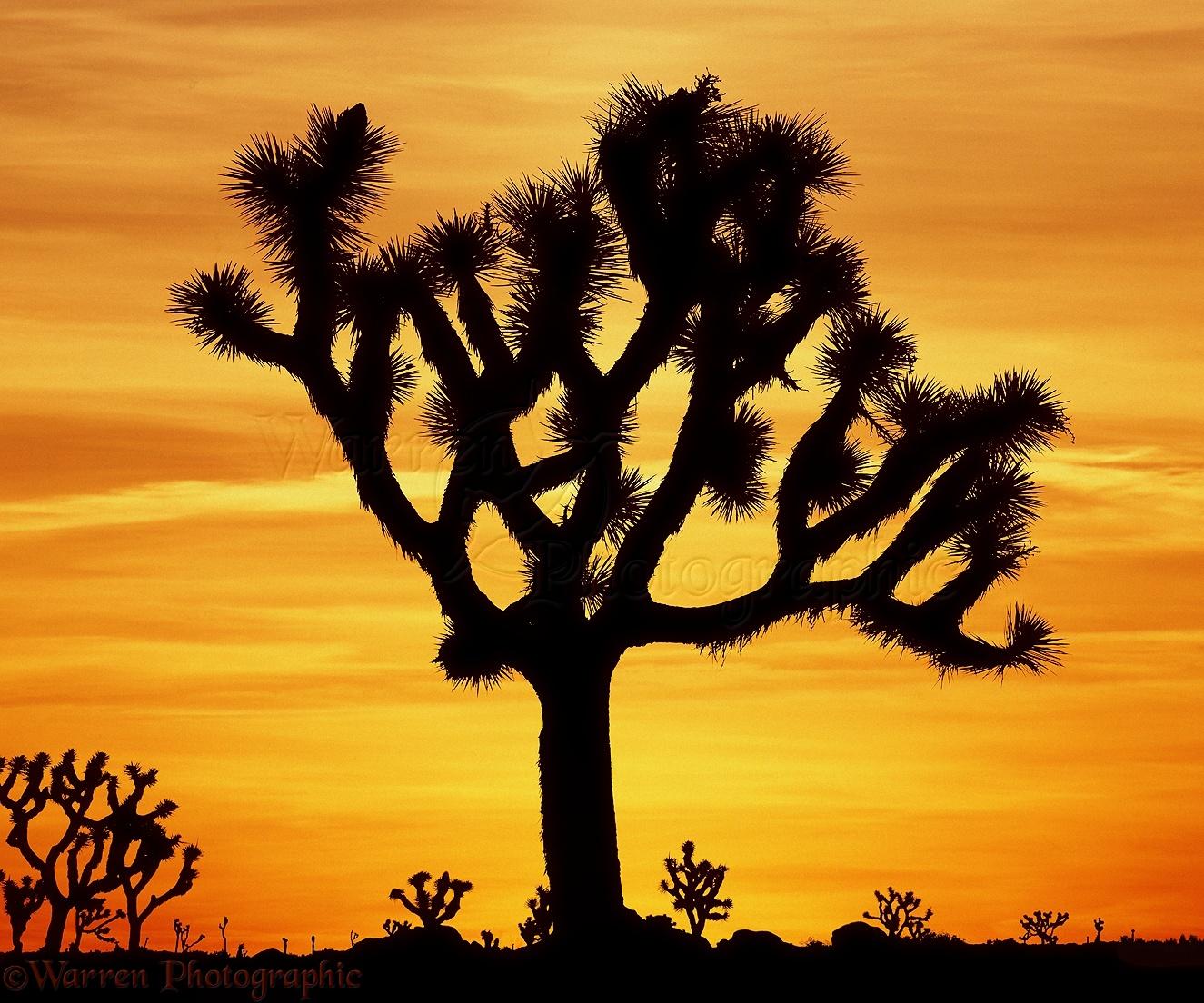 WP04717 Joshua Tree ( Yucca brevifolia ) at sunrise. California, USA.: www.warrenphotographic.co.uk/04717-joshua-tree-at-sunrise