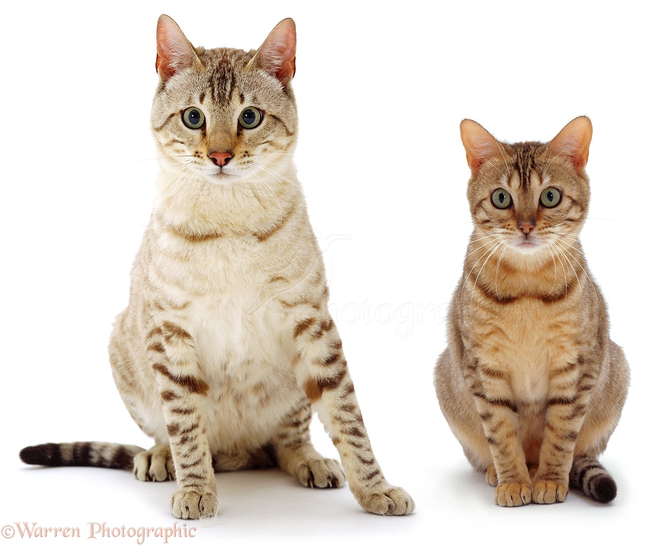 ... Bengal male cat, Tagor , and Brown spotted Bengal female cat, Indra