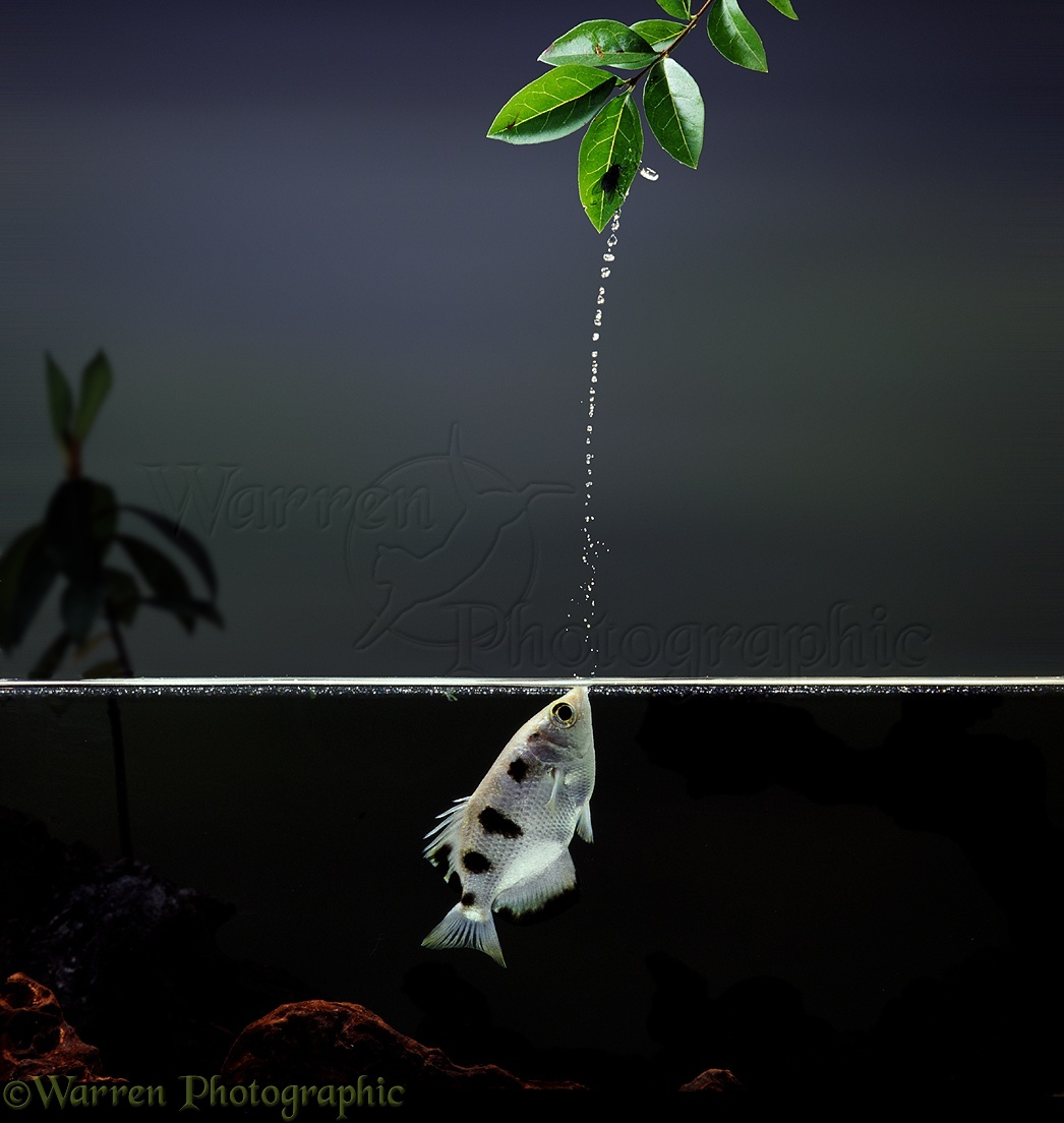 Archer Fish jetting at fly