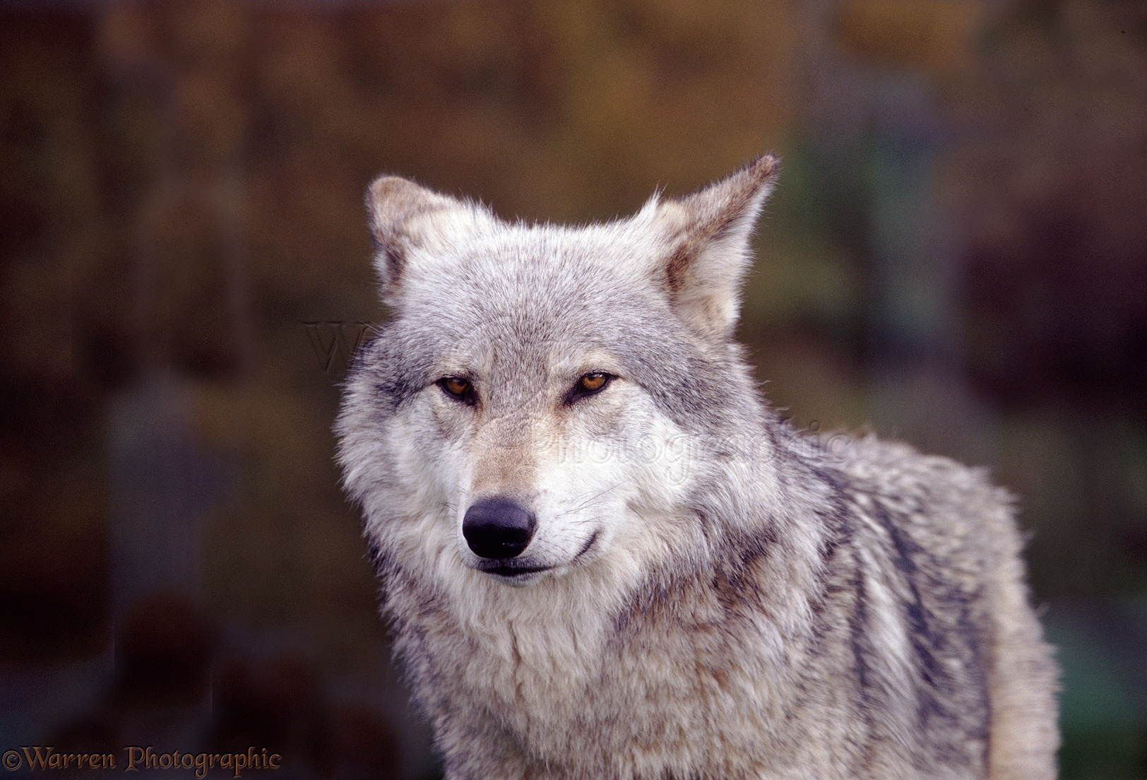 White Wolf With Purple Eyes White Wolf With Purple...