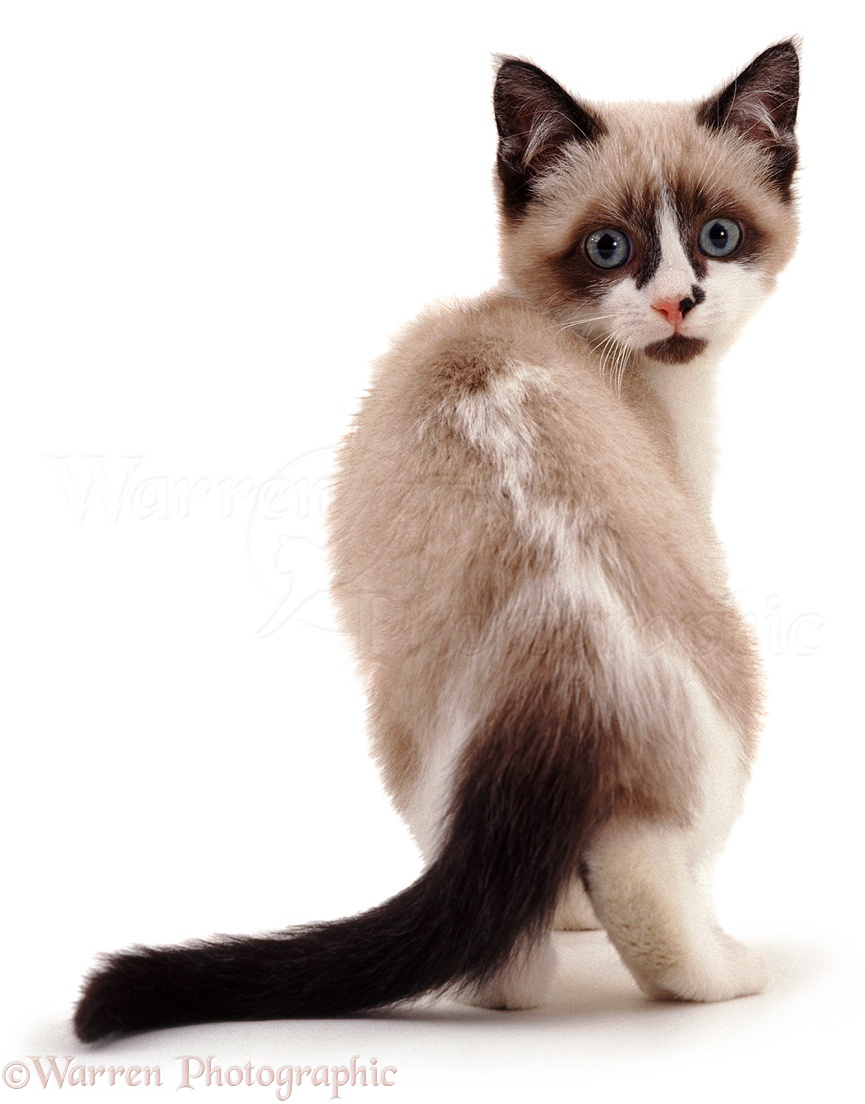 Snowshoe Kittens For Sale Best Cat And Kitten Image And HD
