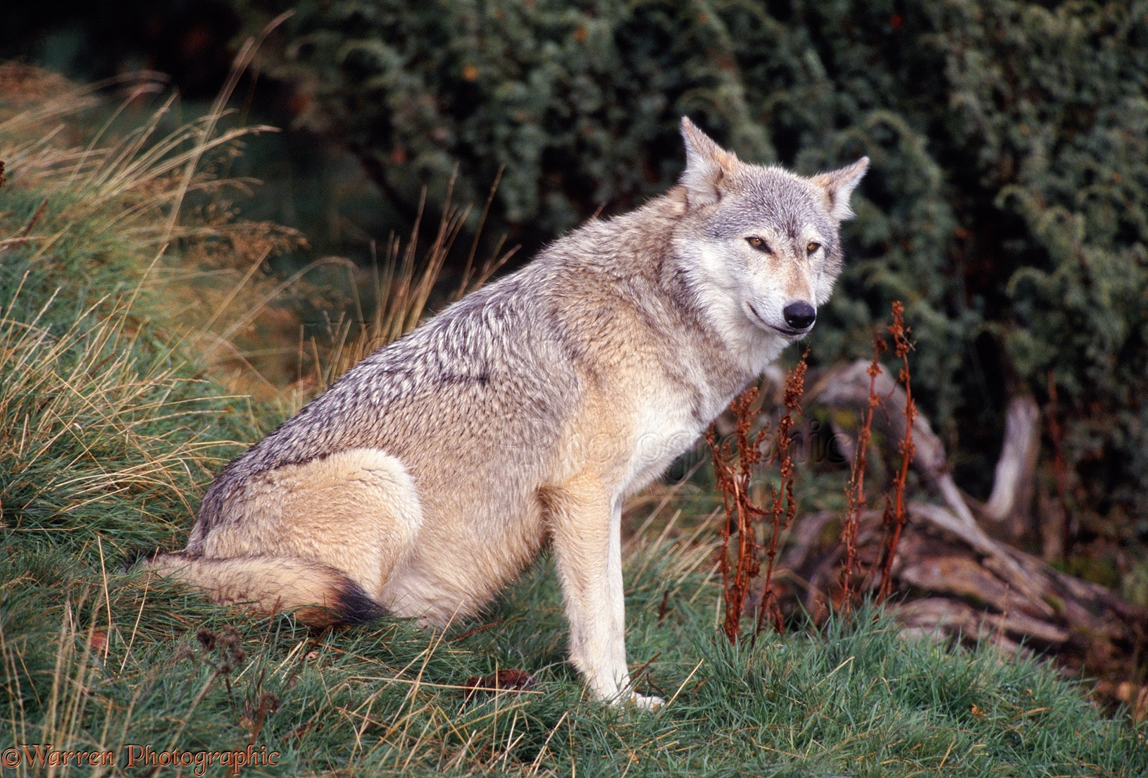 Wolf sitting down side view - photo#25