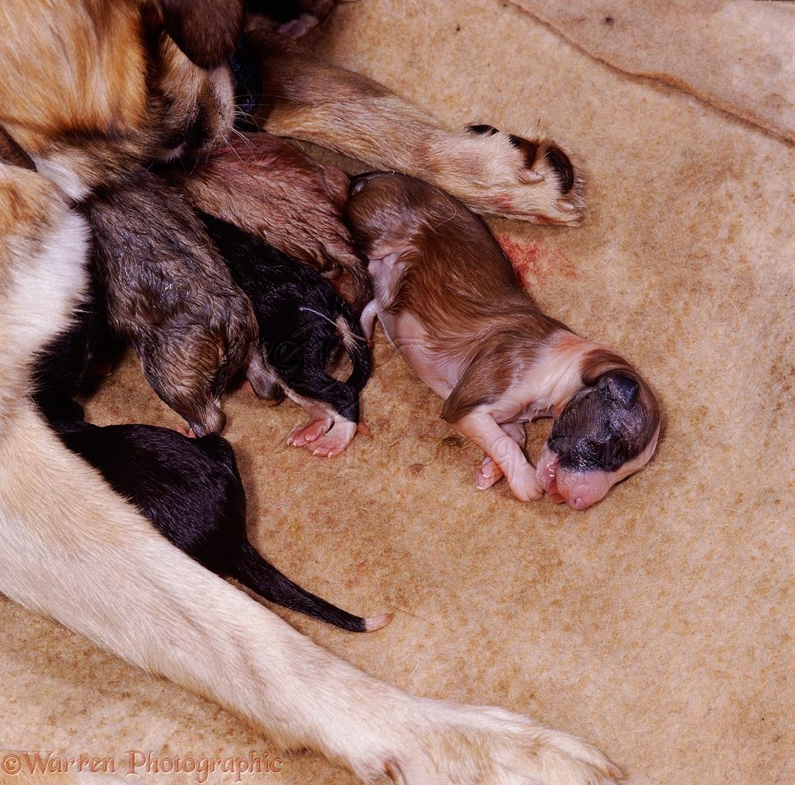 Dogs Newborn Border Collie Puppy Photo Wp04812