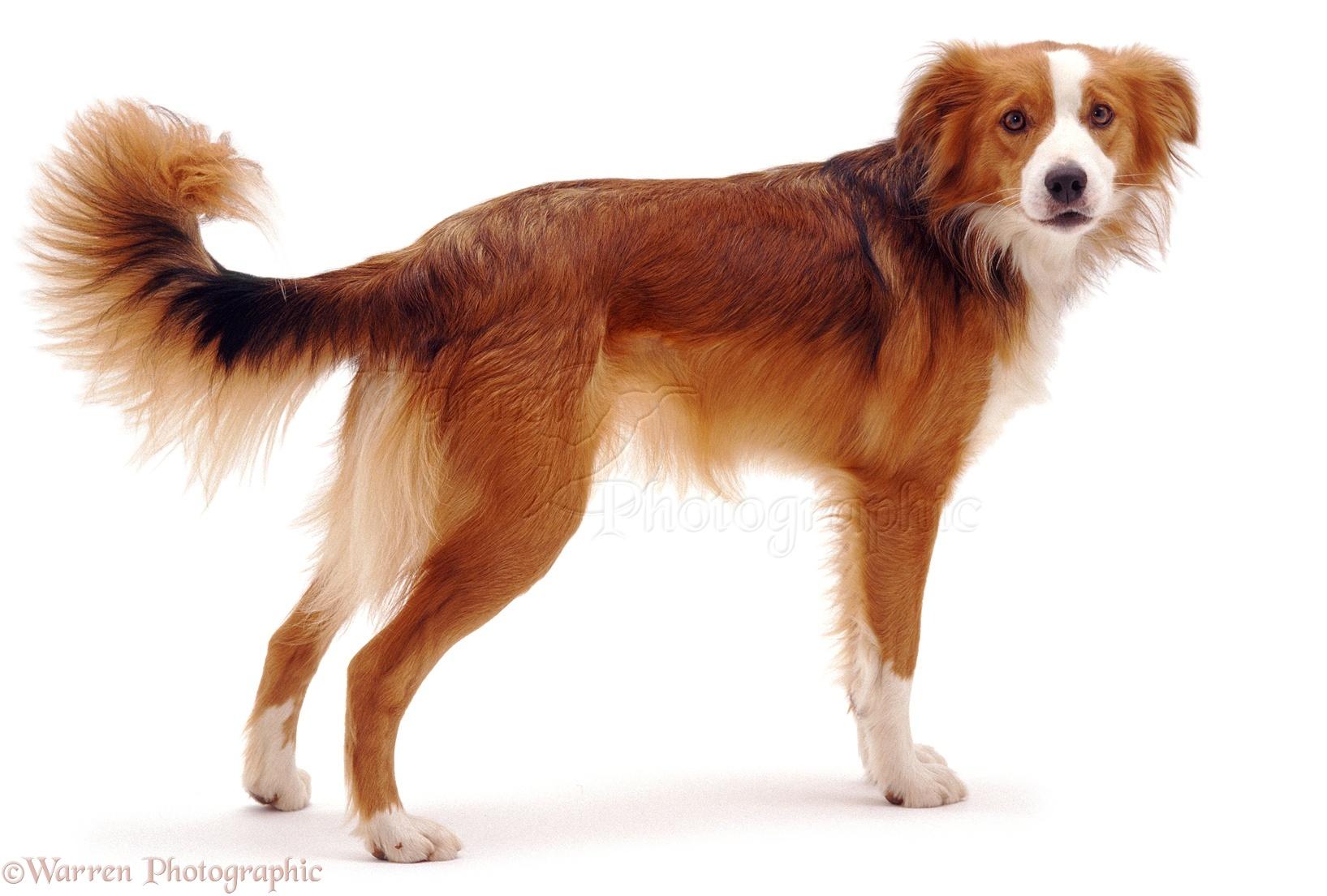 Orange And White Dog Breeds
