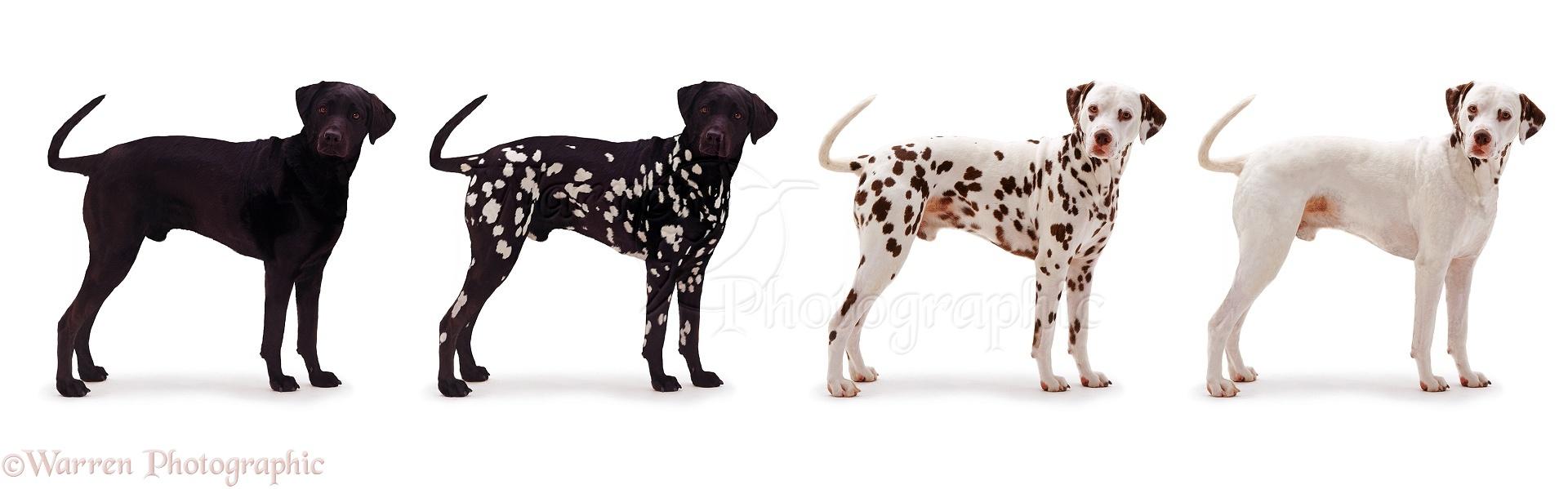 Dogs: Black and white Dalmatian photo - WP04943