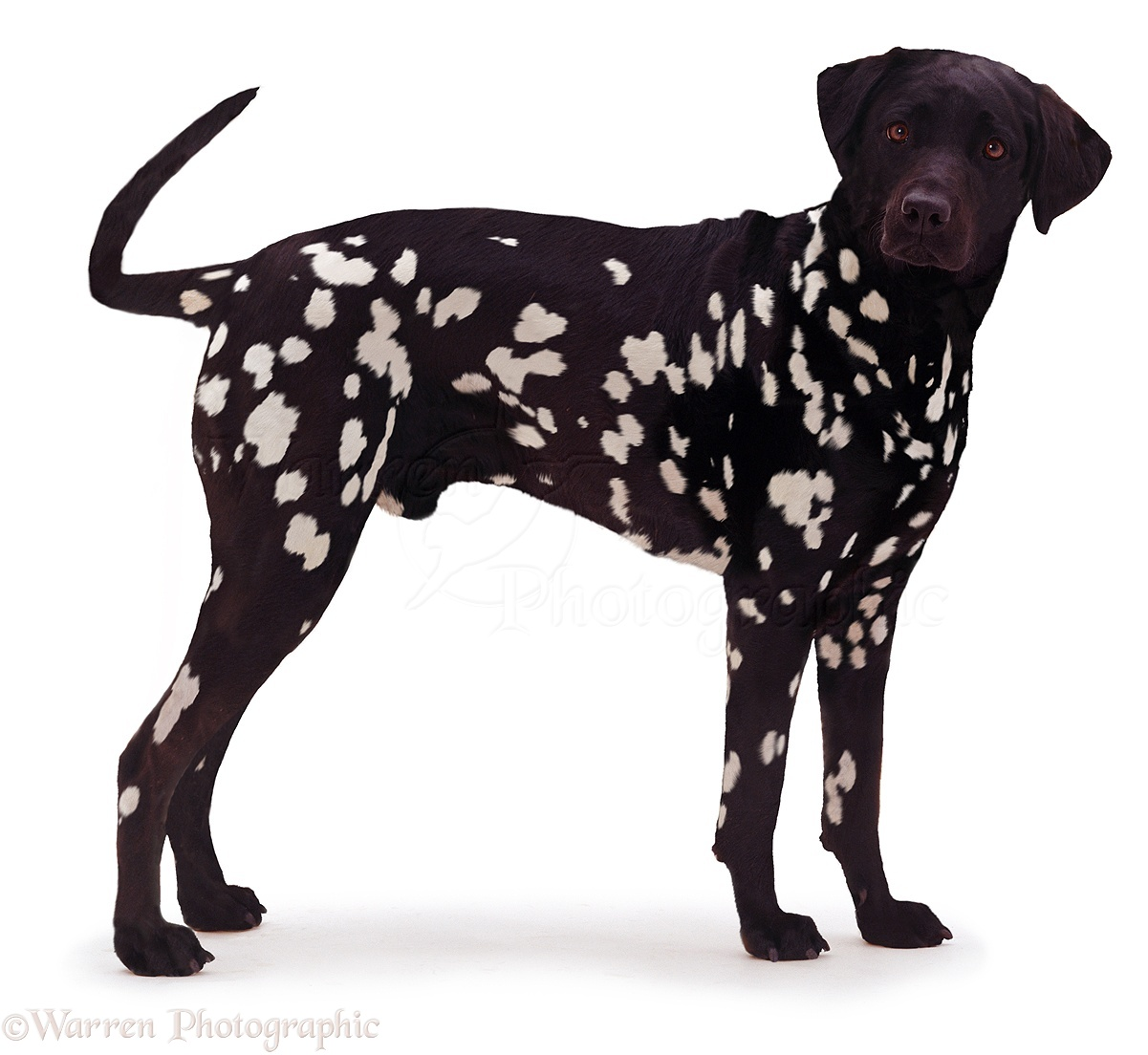 dog inverse black dalmatian photo wp04944 clip art puppy paw prints clip art puppies free
