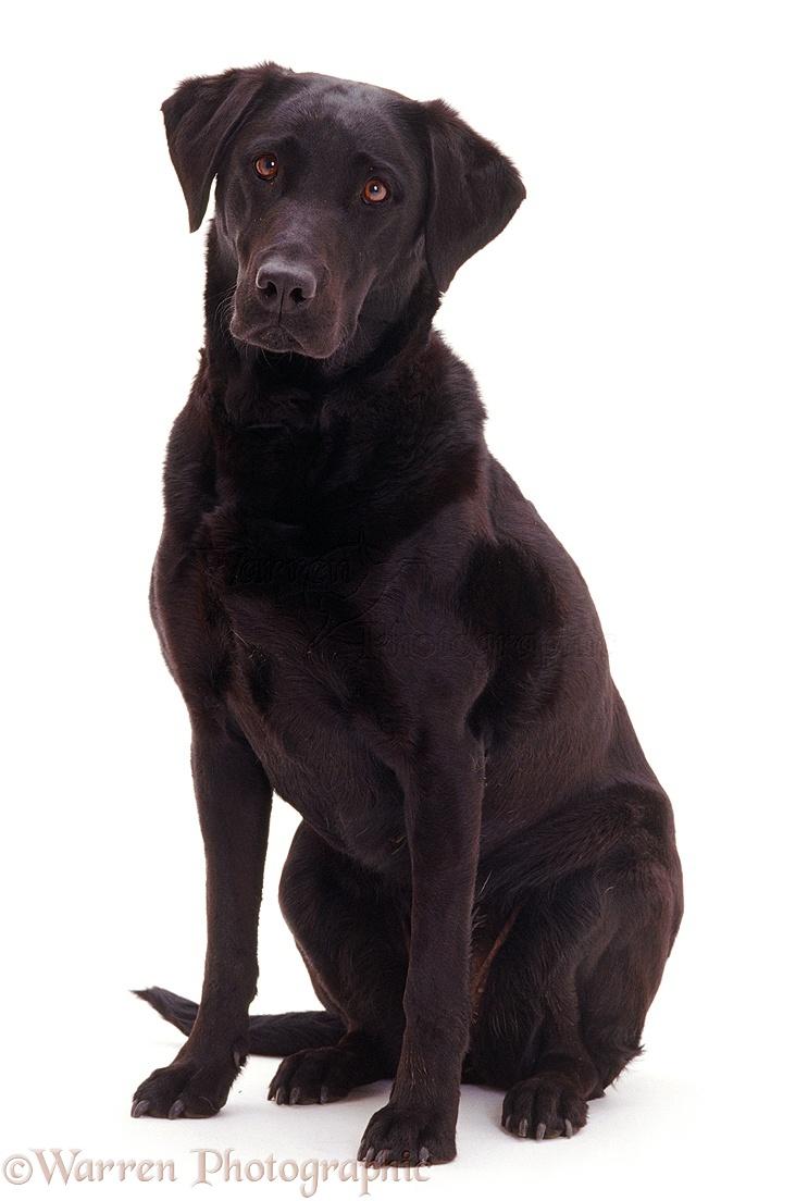 Dog: Black Labrador bitch photo - WP04954: www.warrenphotographic.co.uk/04954-black-labrador-bitch