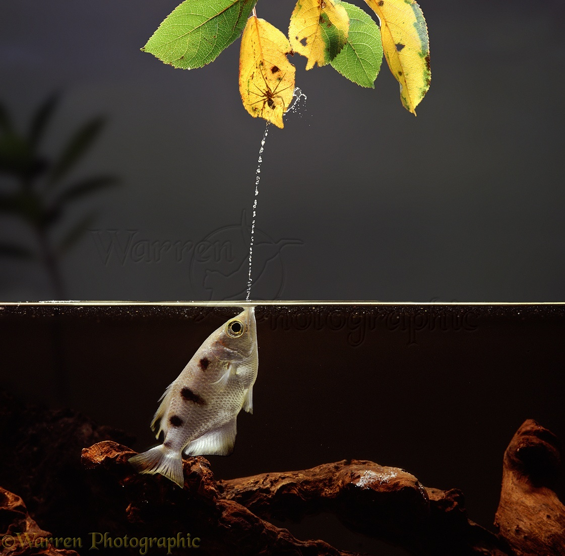 Archer Fish jetting at spider photo - WP05140