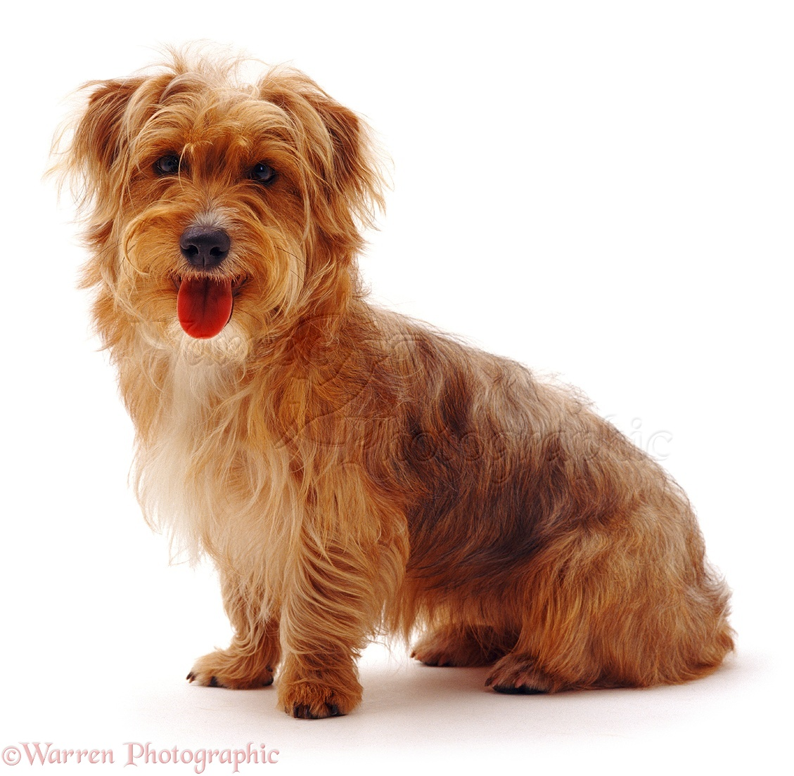 WP05217 Yorkshire Terrier x Jack Russell dog, Chip , 10 months old.