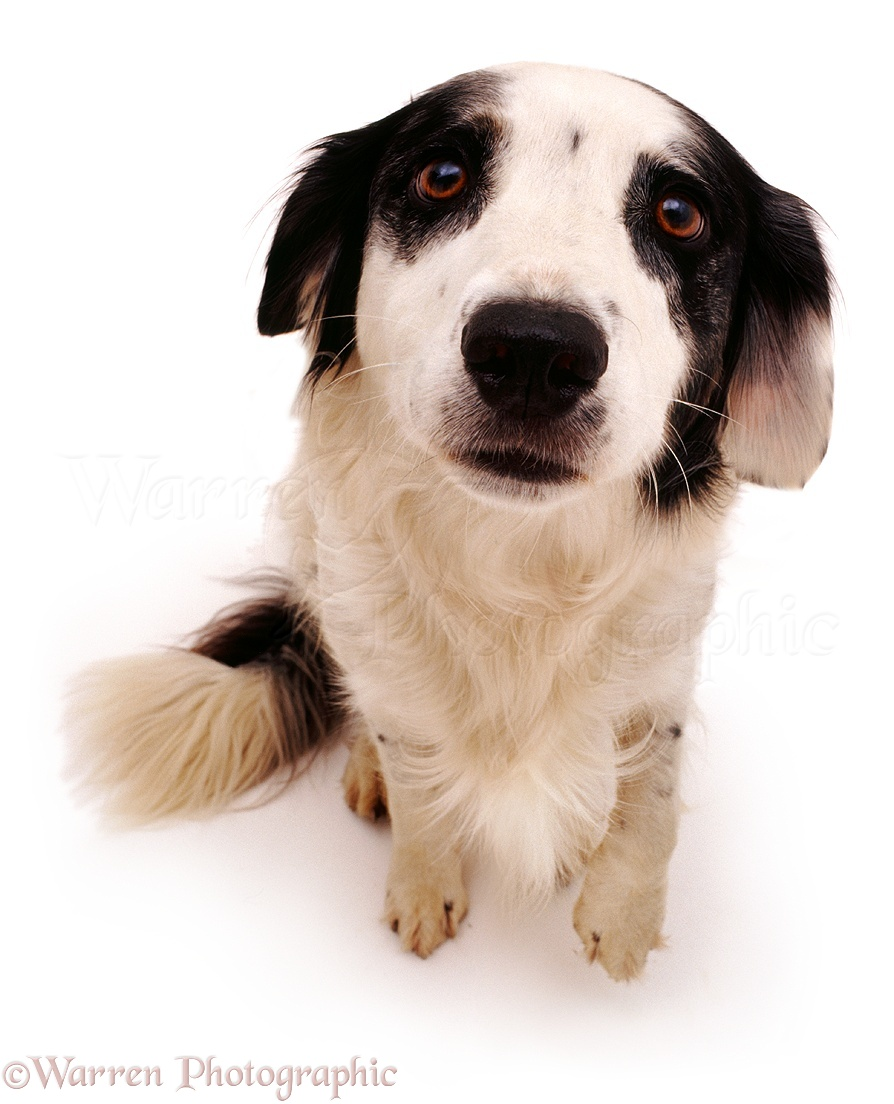 Wp05221 springer spaniel x border collie dog rio