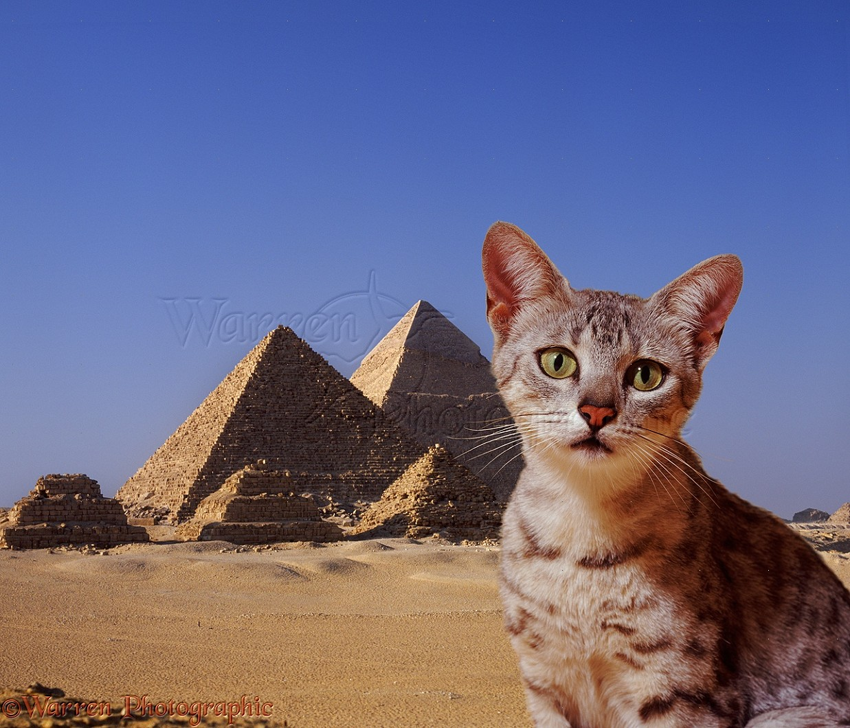 يقدر يوفرلي الماو الفرعوني حبشي 05327-Egyptian-Mau-c