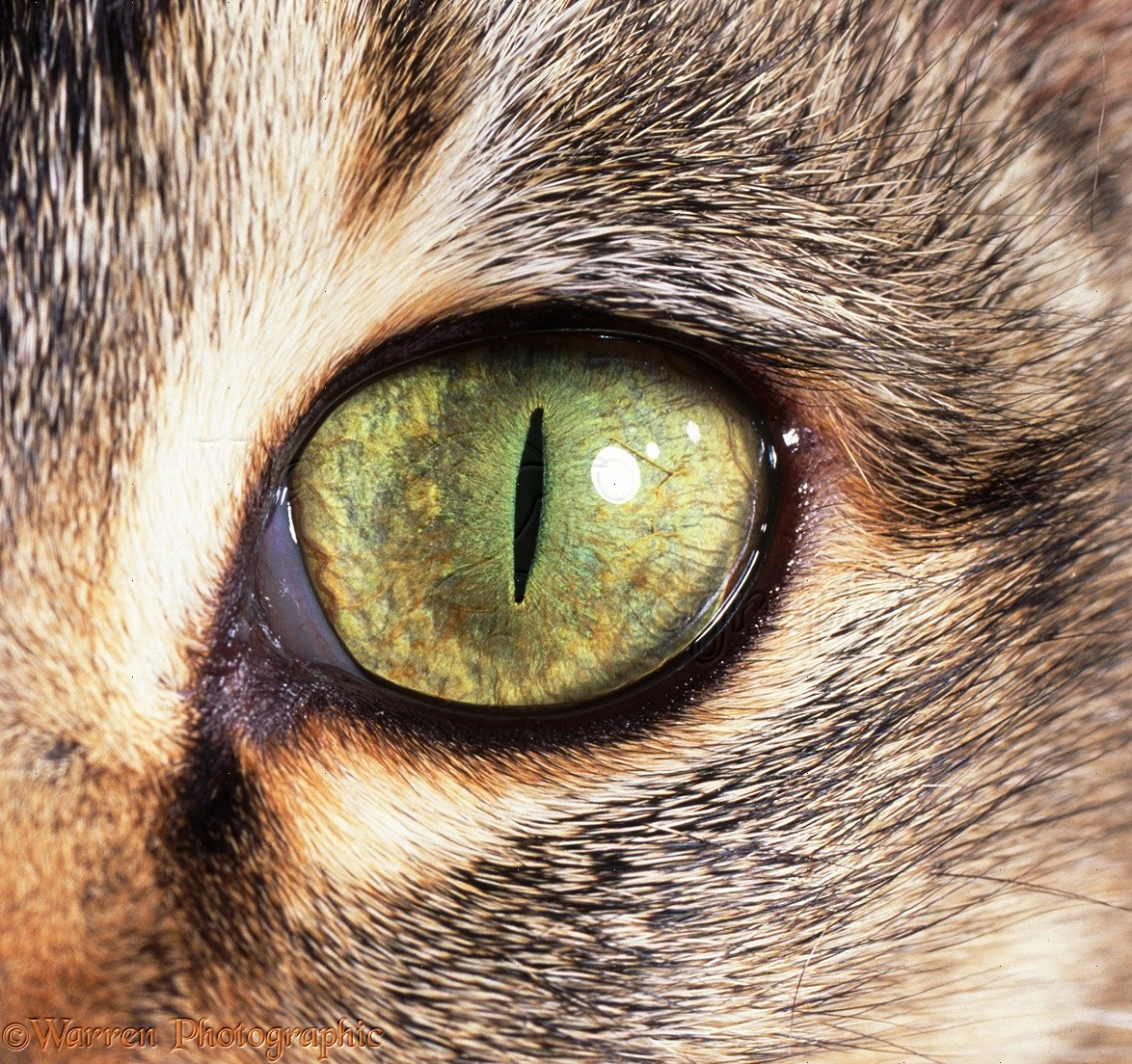 живая картинка глаз кошки текстиль комплекте