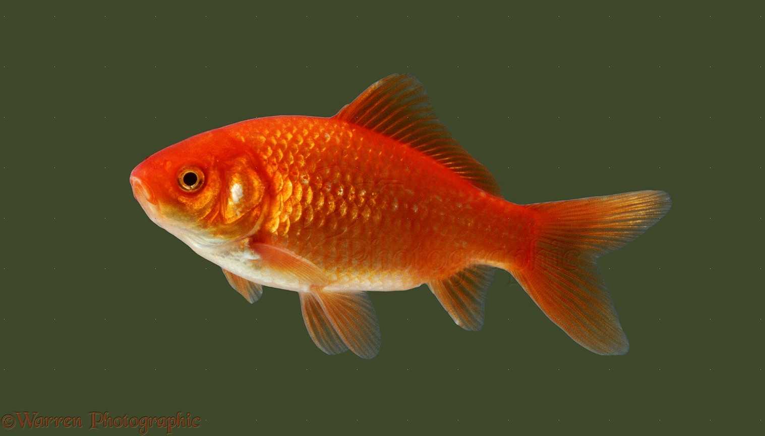 Goldfish photo wp05401 for Fish that can live with goldfish