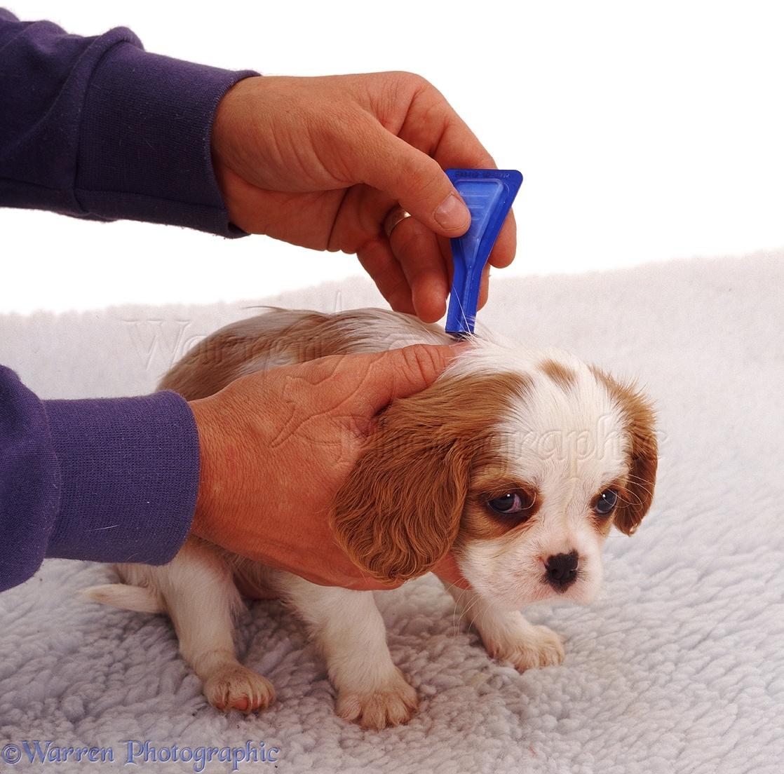 Dog: Puppy flea treatment photo - WP05474