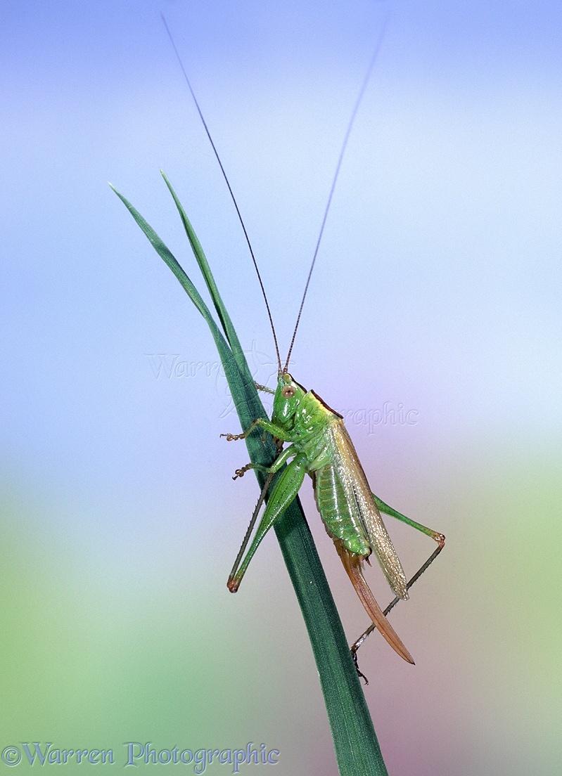 Long-winged Conehead Cricket photo - WP05850 Cricket