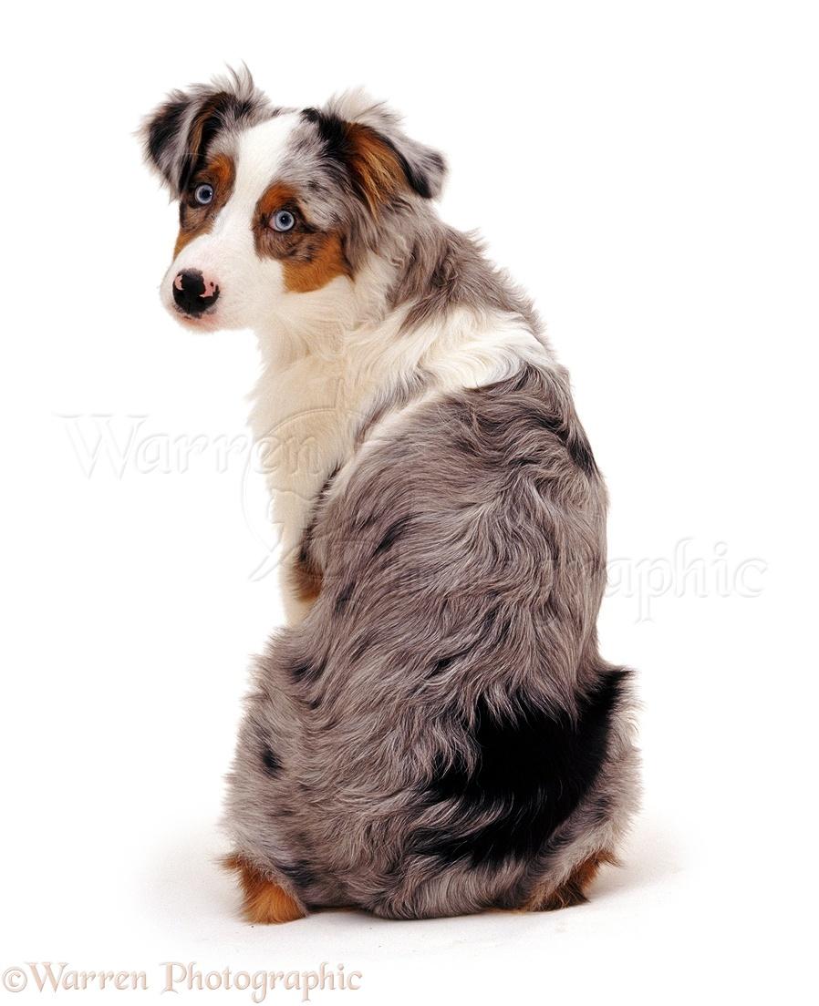 Australian Shepherd Dog Pup Photo Wp05862