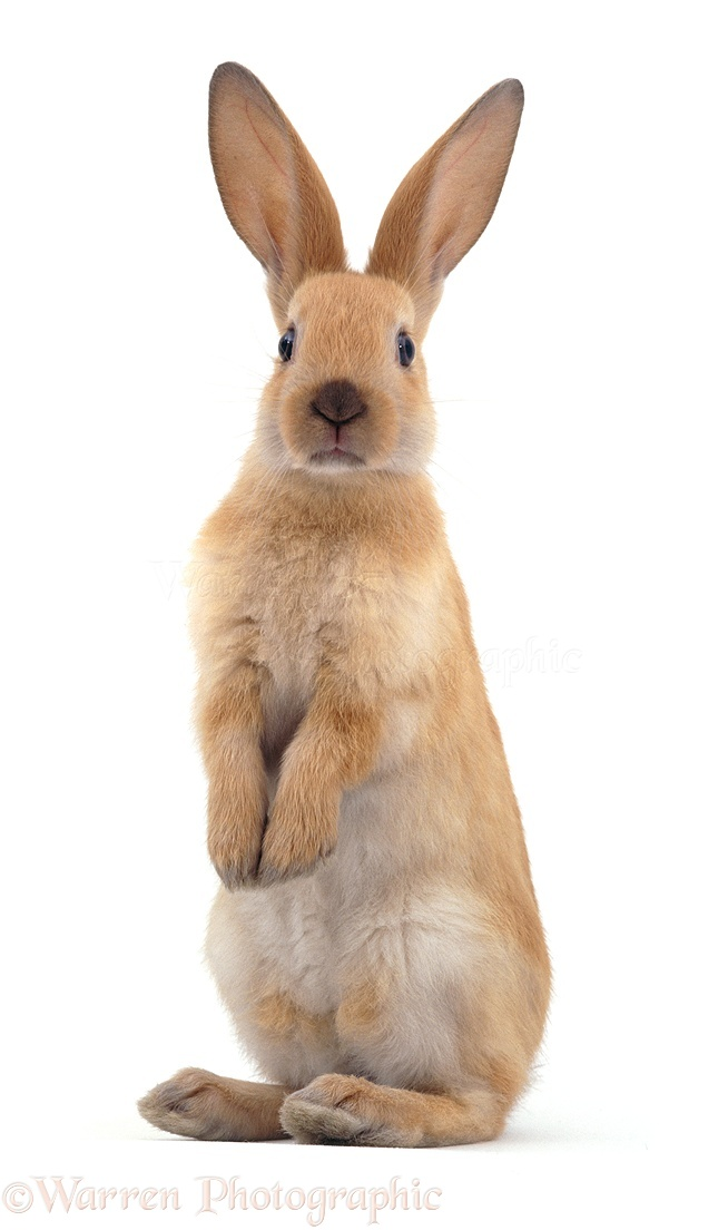 Young Sooty Fawn Rabbit Standing Up Photo Wp05880