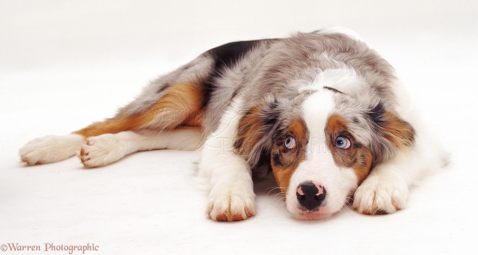 Australian Shepherd Dog Pup Photo Wp05942