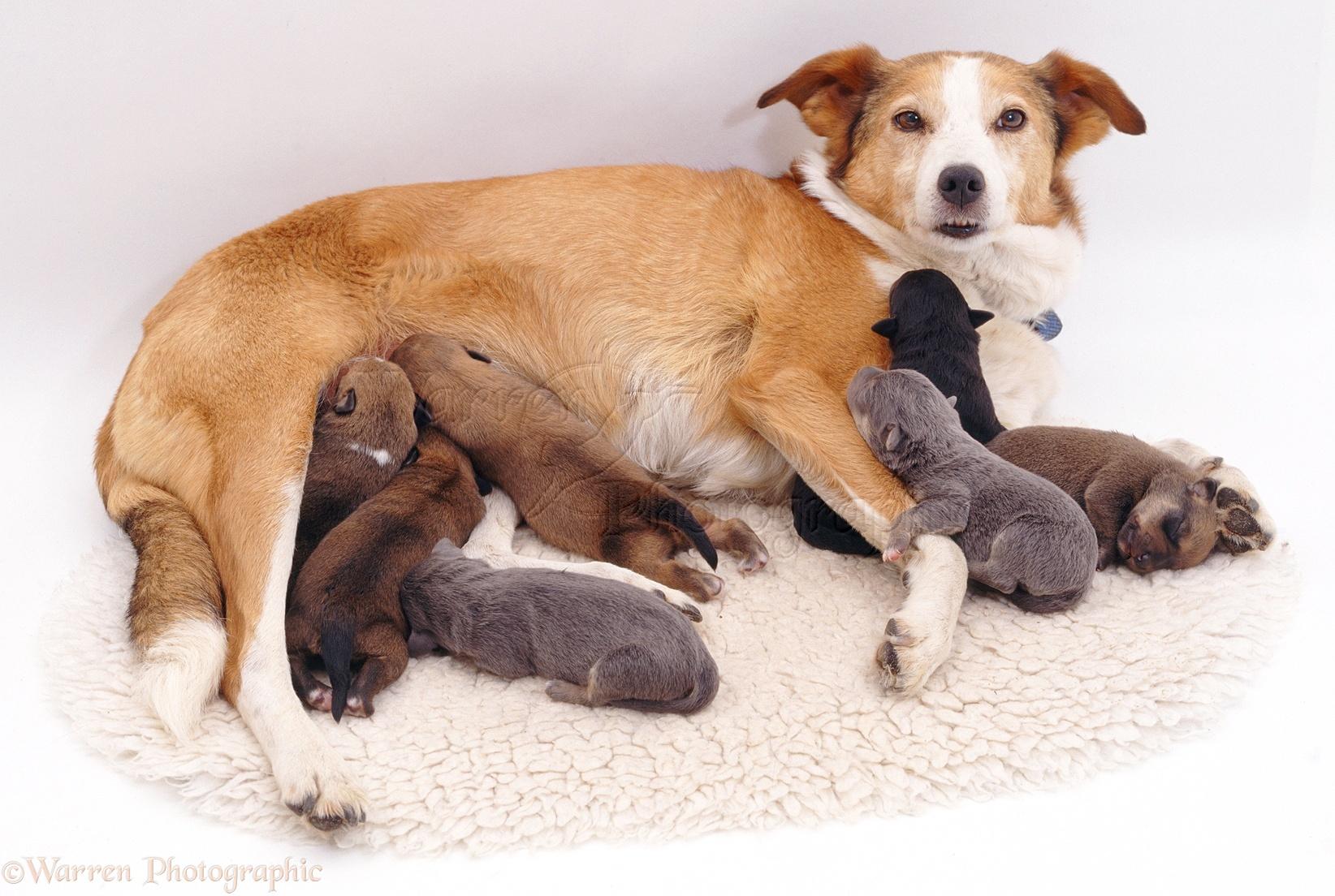 Phantom Pregnancy In Dogs Uk