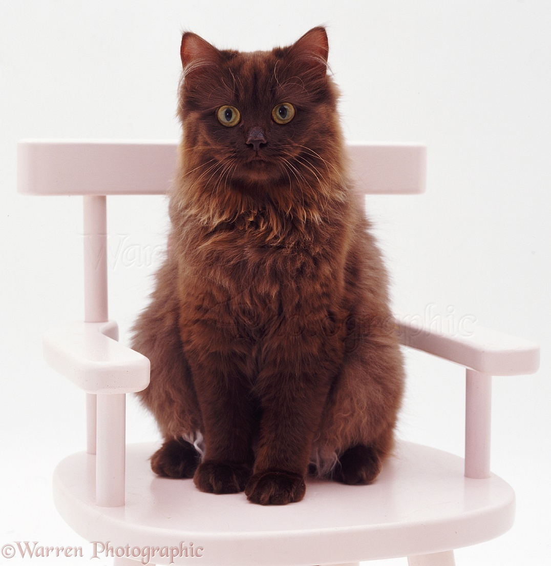 Chocolate Persian-cross female cat on chair photo - WP06006