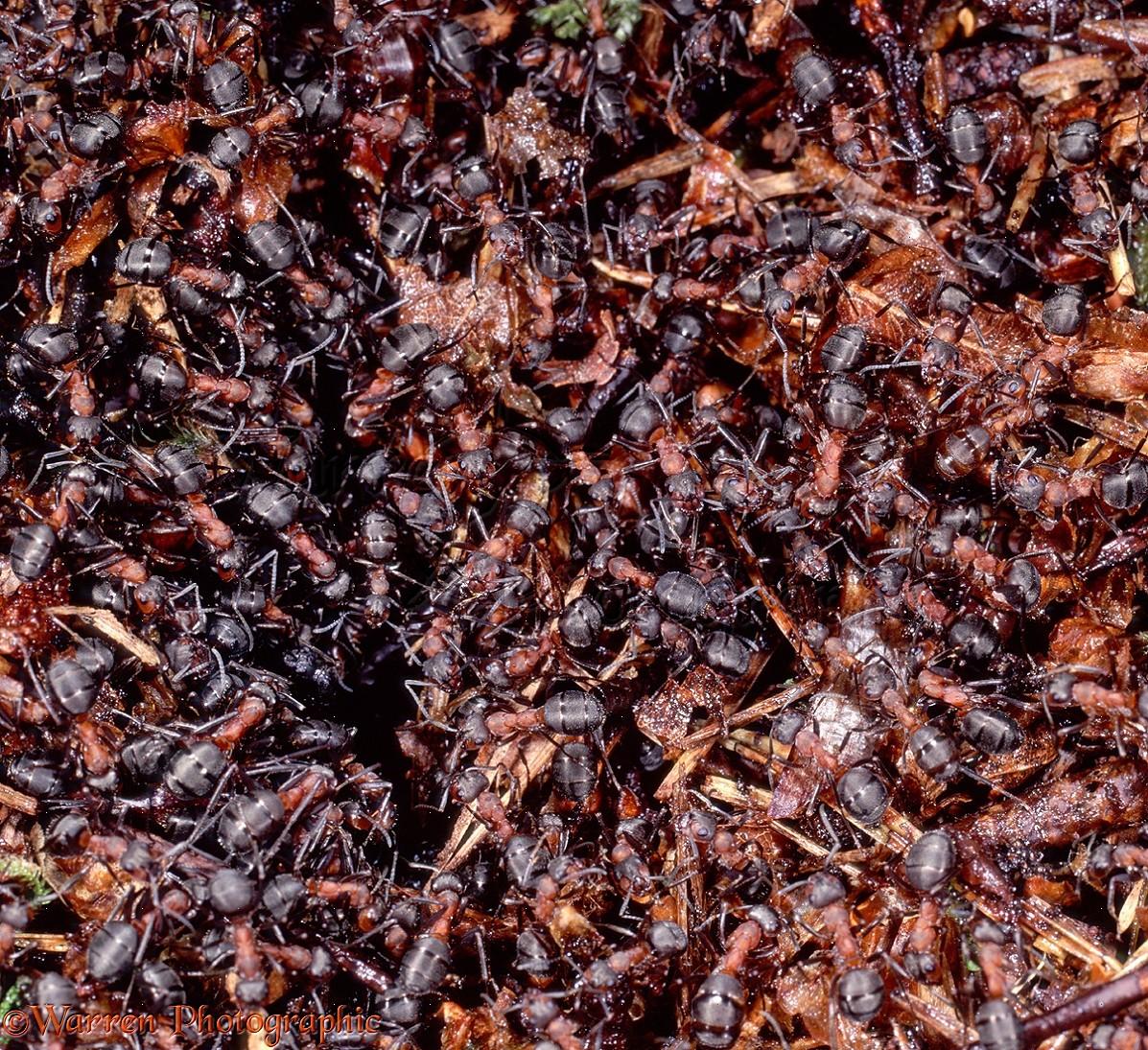 wood ants packed on nest photo wp06130