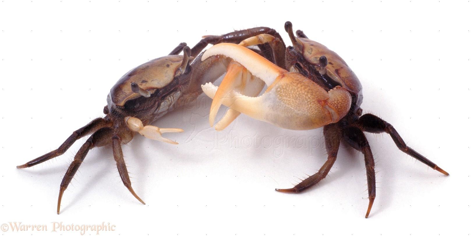 Crabs Fighting Images & Pictures - Findpik
