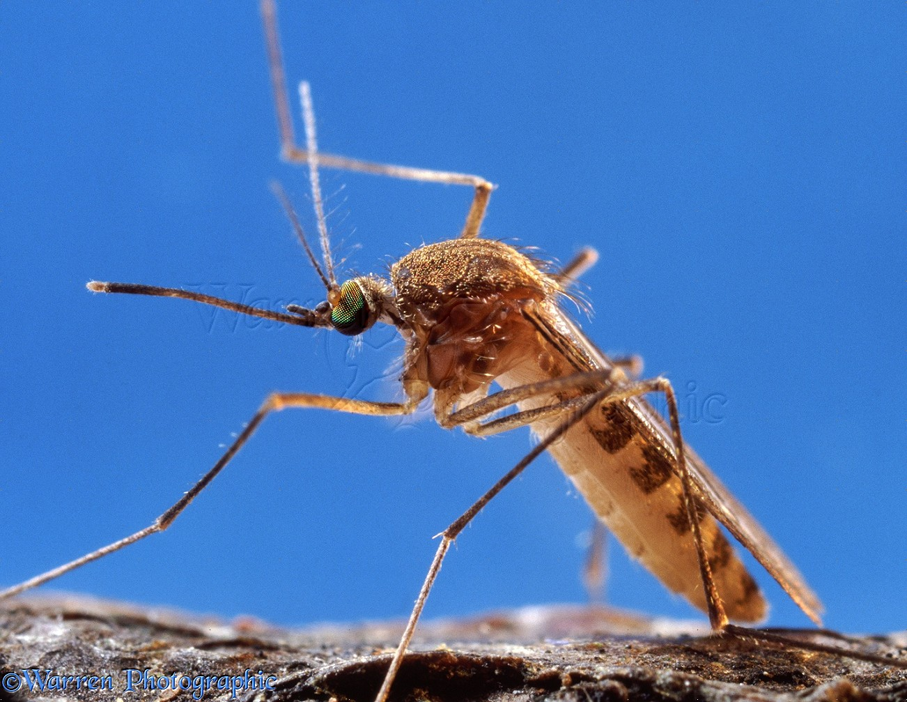 WP06355 Mosquito ( Culex pipiens ) female portrait. Europe.