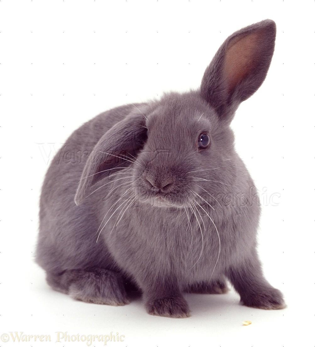 blue rabbit photo   wp06470
