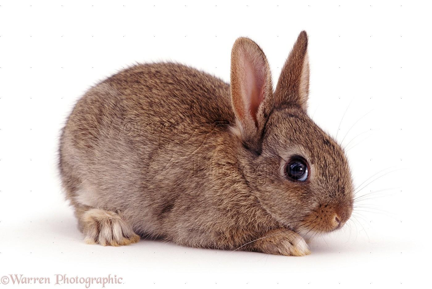 Agouti baby rabbit photo WP06472