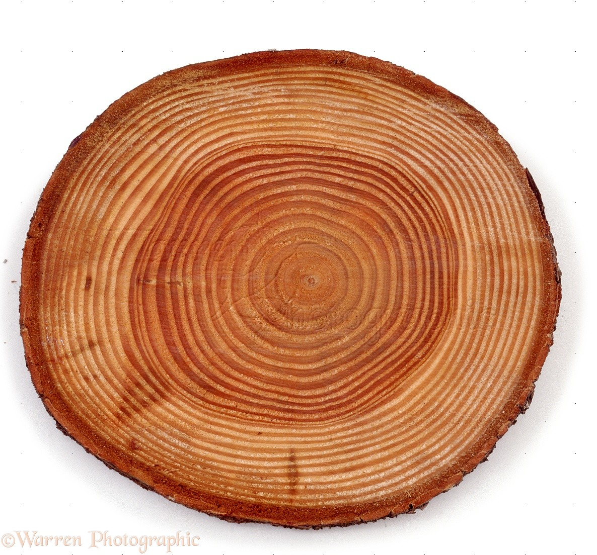 Tree Growth Rings Related Keywords & Suggestions - Tree Growth Rings ...