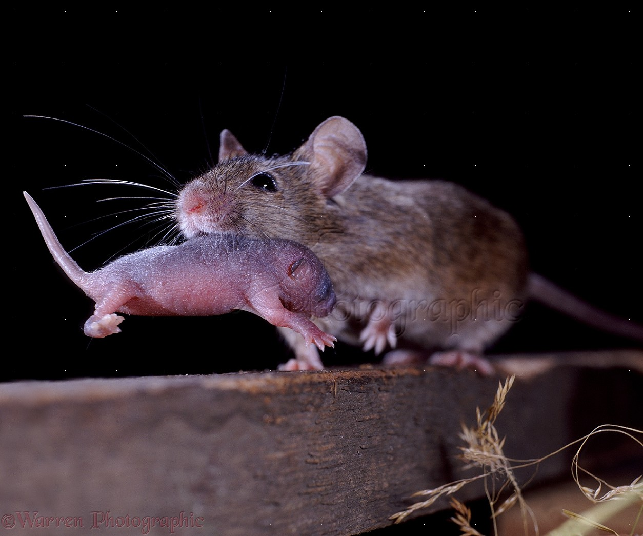 mouse carrying baby photo wp06635