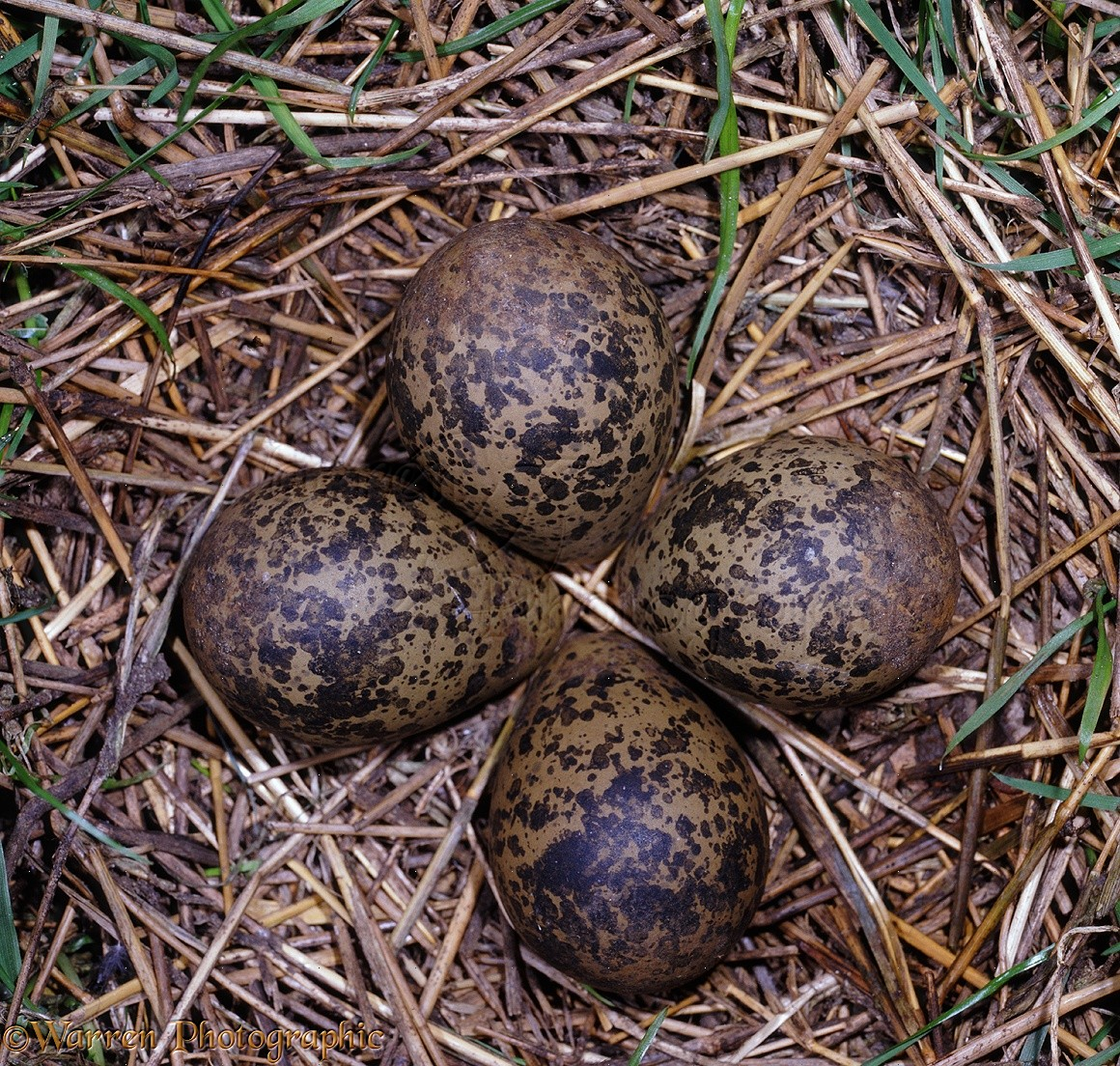 Lapwing eggs in nest photo WP06784