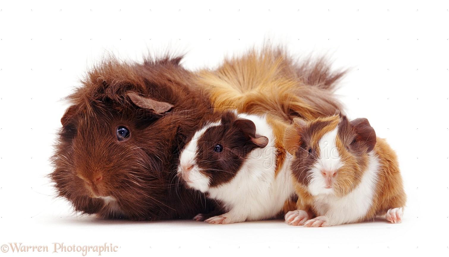 Sheltie guinea pigs - photo#17
