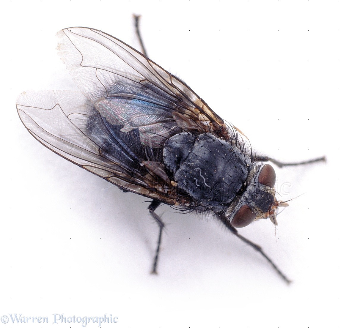 Wp06808 bluebottle fly ( calliphora vomitoria )
